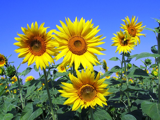 sunflowers-268015_640